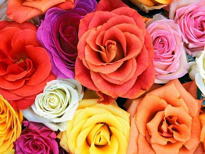 Значение на цветовете на розите